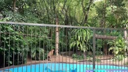 Tiger climbs tree to shicken