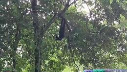 Oooo ooo ooo monkey pendulum - Khao Kheow Zoo - Pattaya
