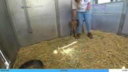 Baby goats get their milk