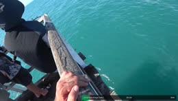Bull shark on the pier