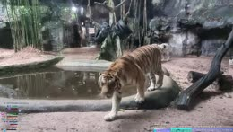 what keth asks the tiger